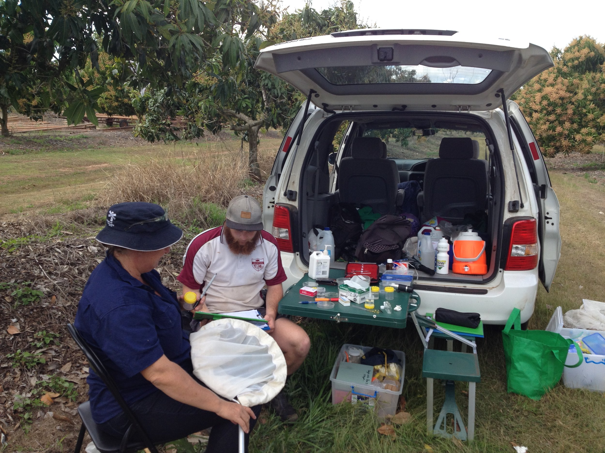Sampling insect pollinators in mango orchards