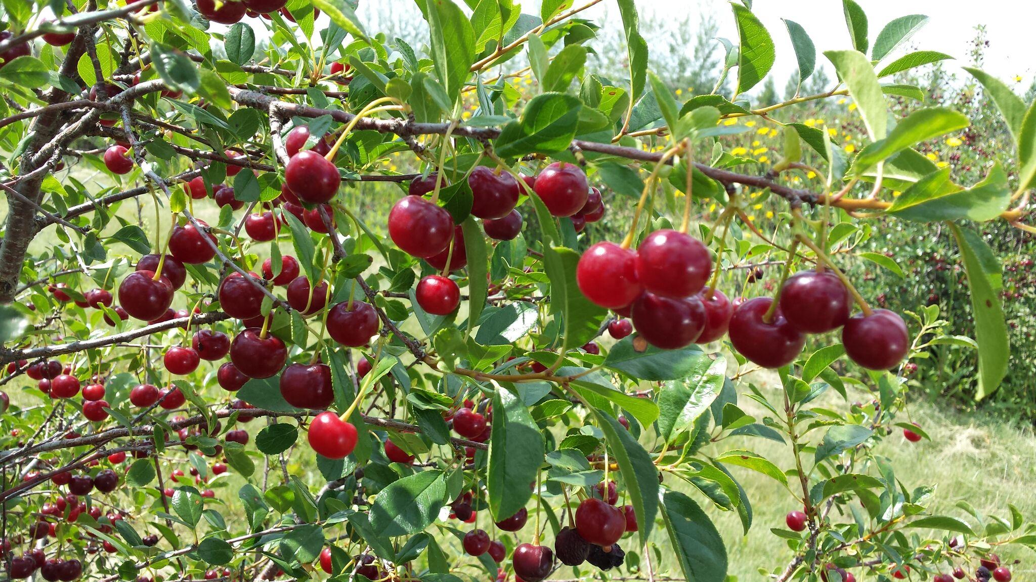 Cherries on the branch.jpg