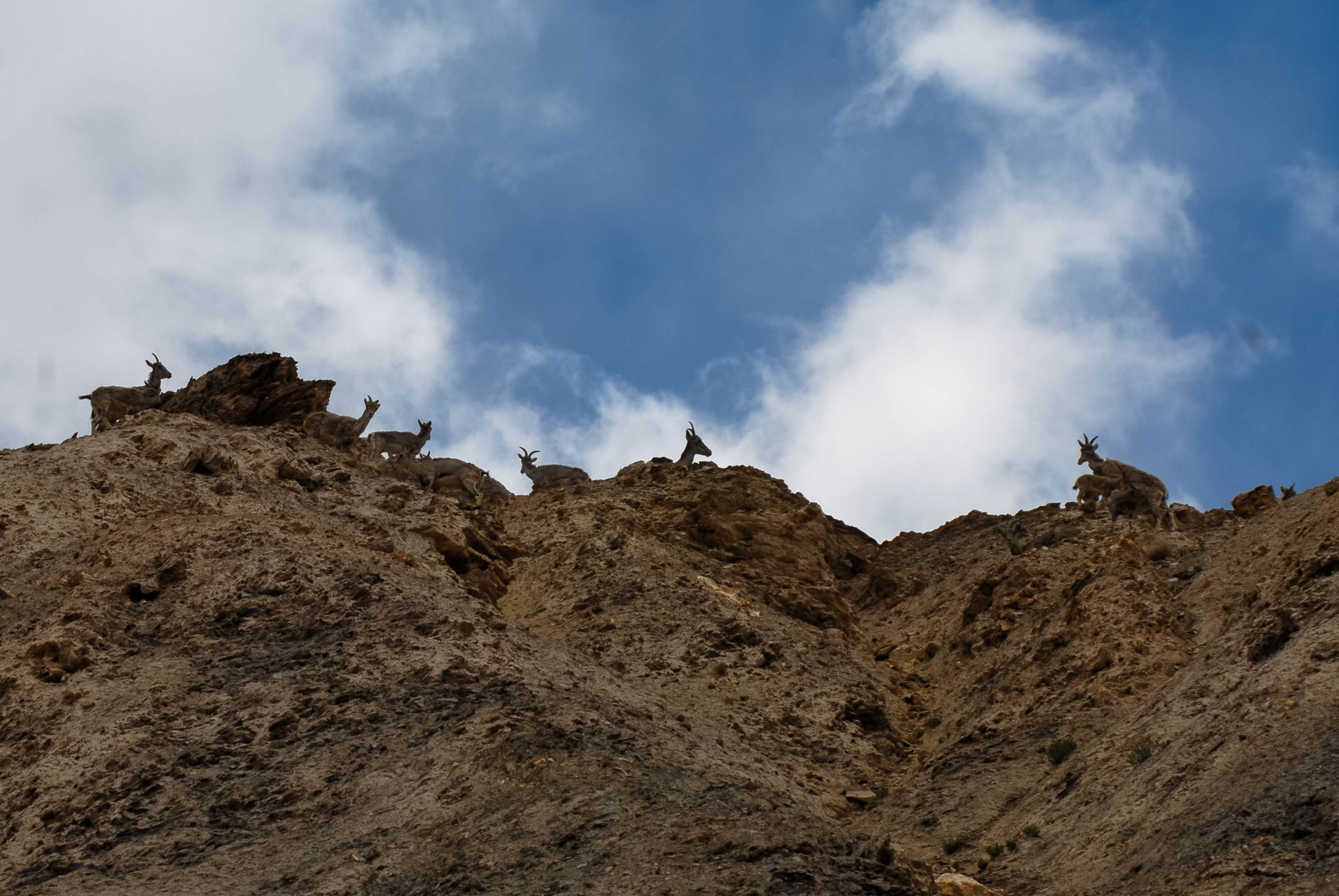 Baral (Blue Sheep) live in the cliffs of the valley.