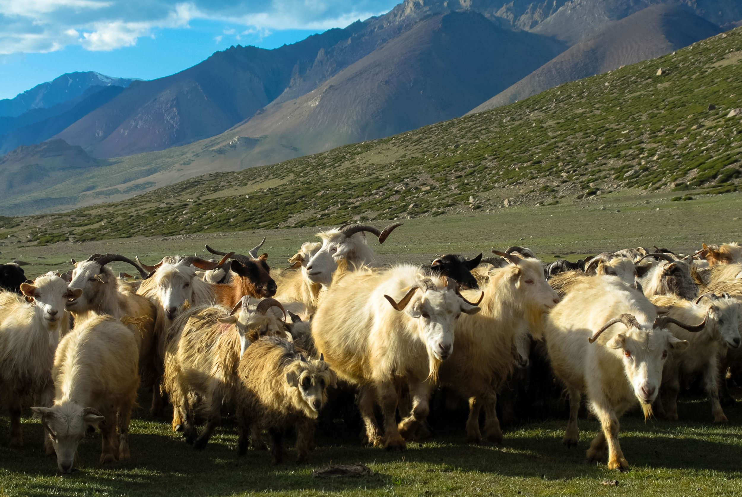 A herd of Kashmiri sheep paid a visit to our tent.