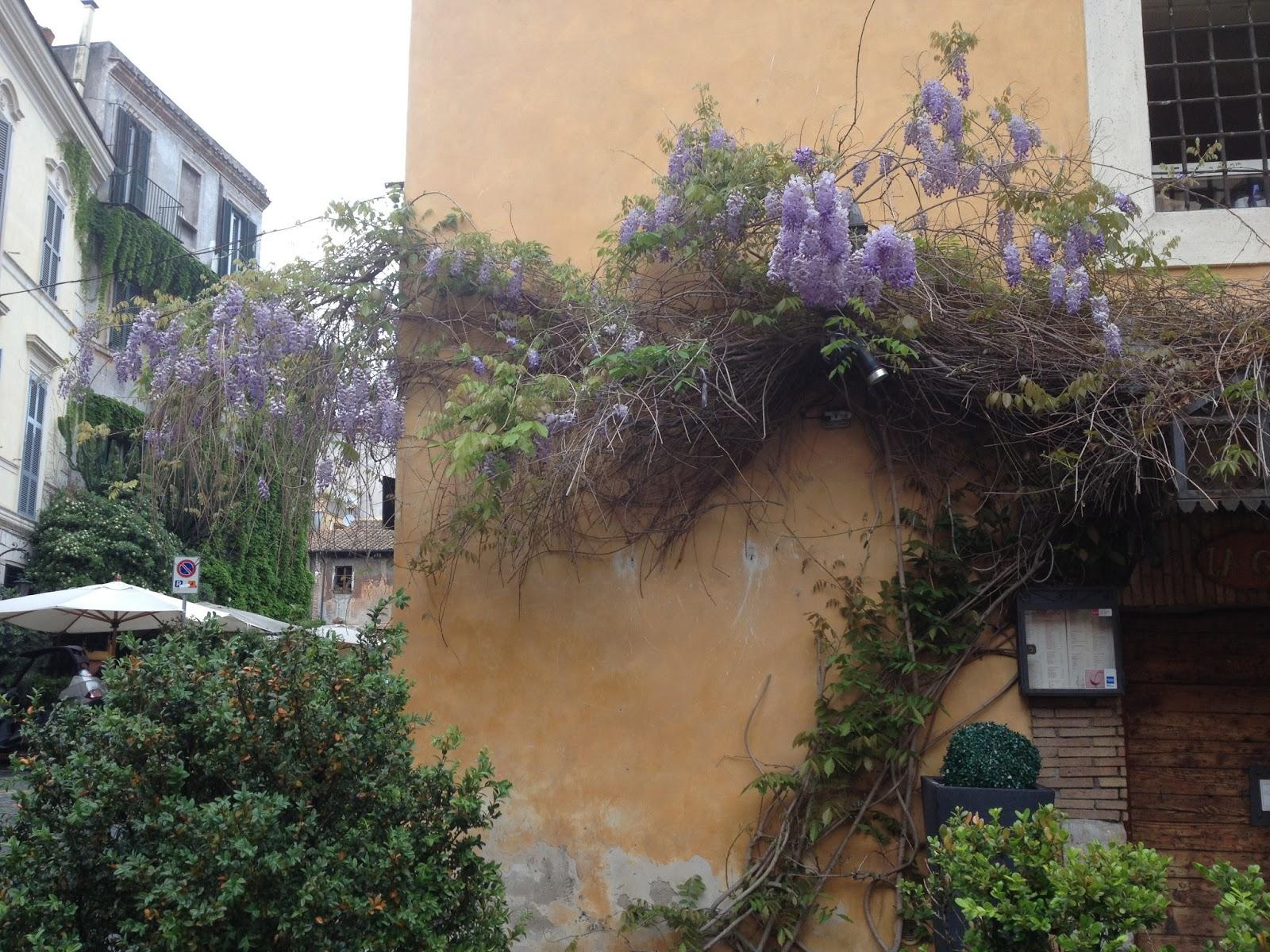 Wisteria in Trastevere. © Tiffany Parks