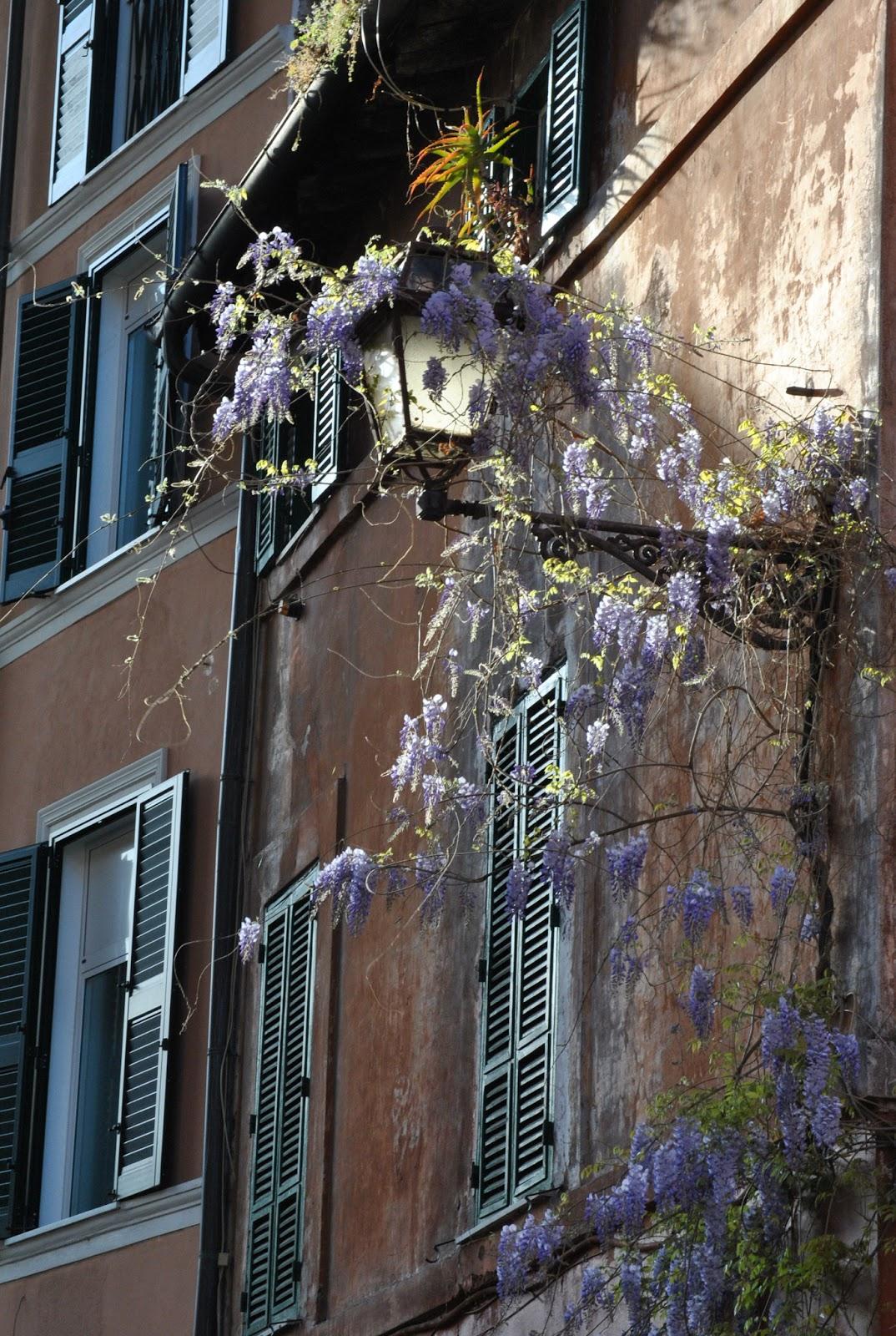 Wisteria Vicolo del Piede Trastevere.©Claudio Ianniello