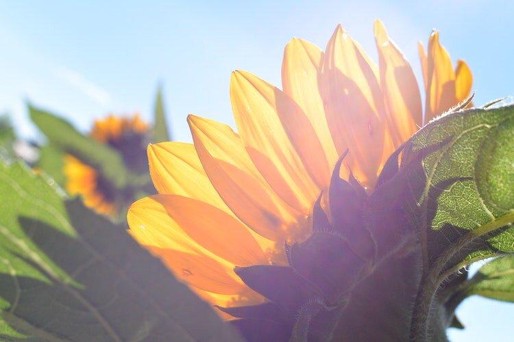 Sunflower sunshine.jpg