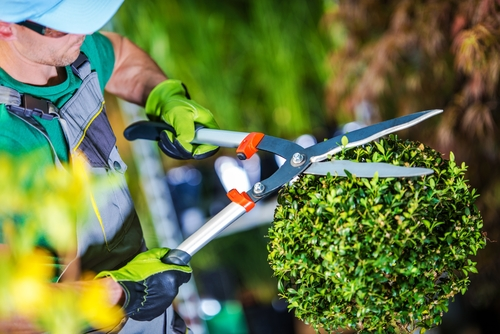 Landscape Maintenance  Trimming shrubs and mulching