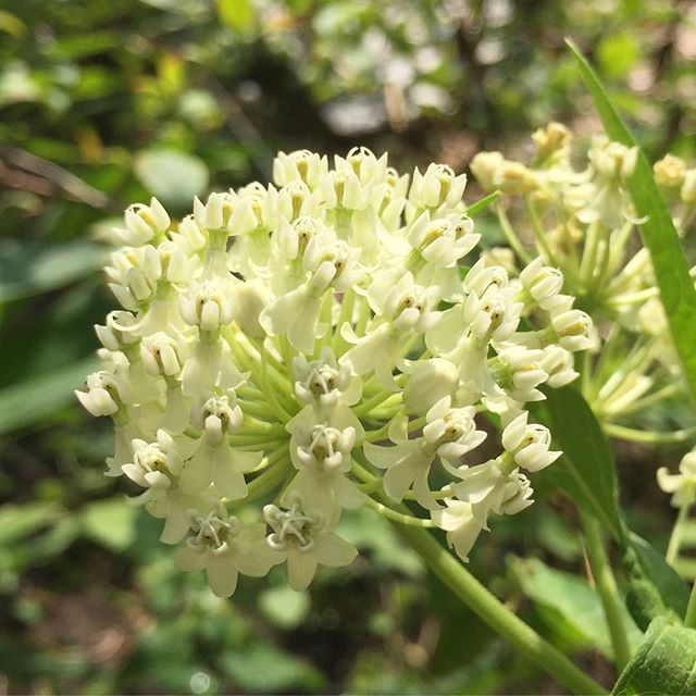 #asclepias or milkweed I wish IG had #smellovision because this is a heavenly summer treat! So we can't see the #bloodmoon lunar eclipse from North America but this smell is out of this world.. so #friyay everyone! 🌝 @cityfarmervancouver