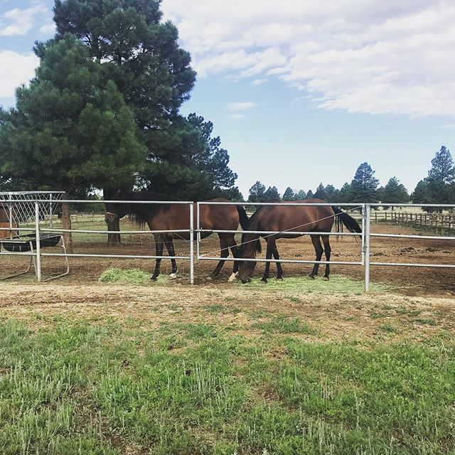 Beautiful Bays at Royal Oaks. #motheranddaughter . . . #bayhorse #bayhorses #royaloaksranch #horseranch #andalusian #spanishhorse #arizona #parksaz #horserunning #horsesforsale #andalusianhorse #anceeregistered
