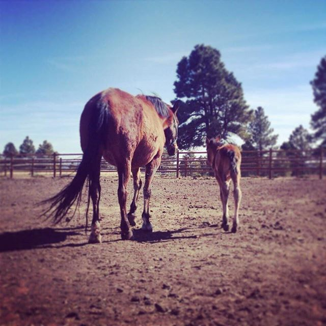 Moms know best 💕 . . . #bayhorse #bayhorses #royaloaksranch #horseranch #andalusian #spanishhorse #arizona #parksaz #mare #foal #mareandfoal #horsesforsale #andalusianhorse #anceeregistered