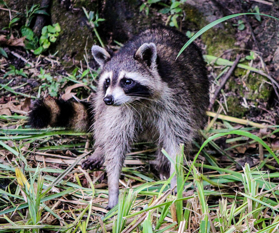This is not the actual raccoons. It is just a stock photo of an evil raccoon.