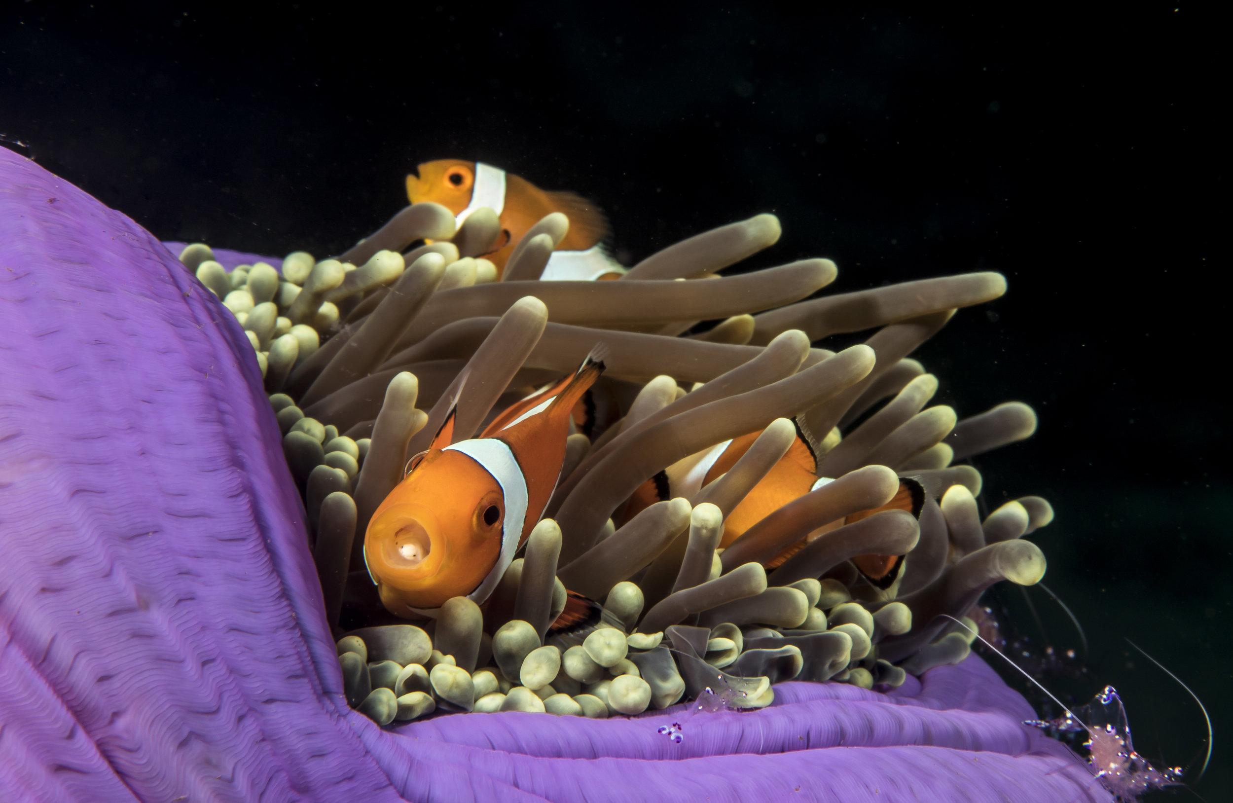 A Tongue Parasite Found Nemo