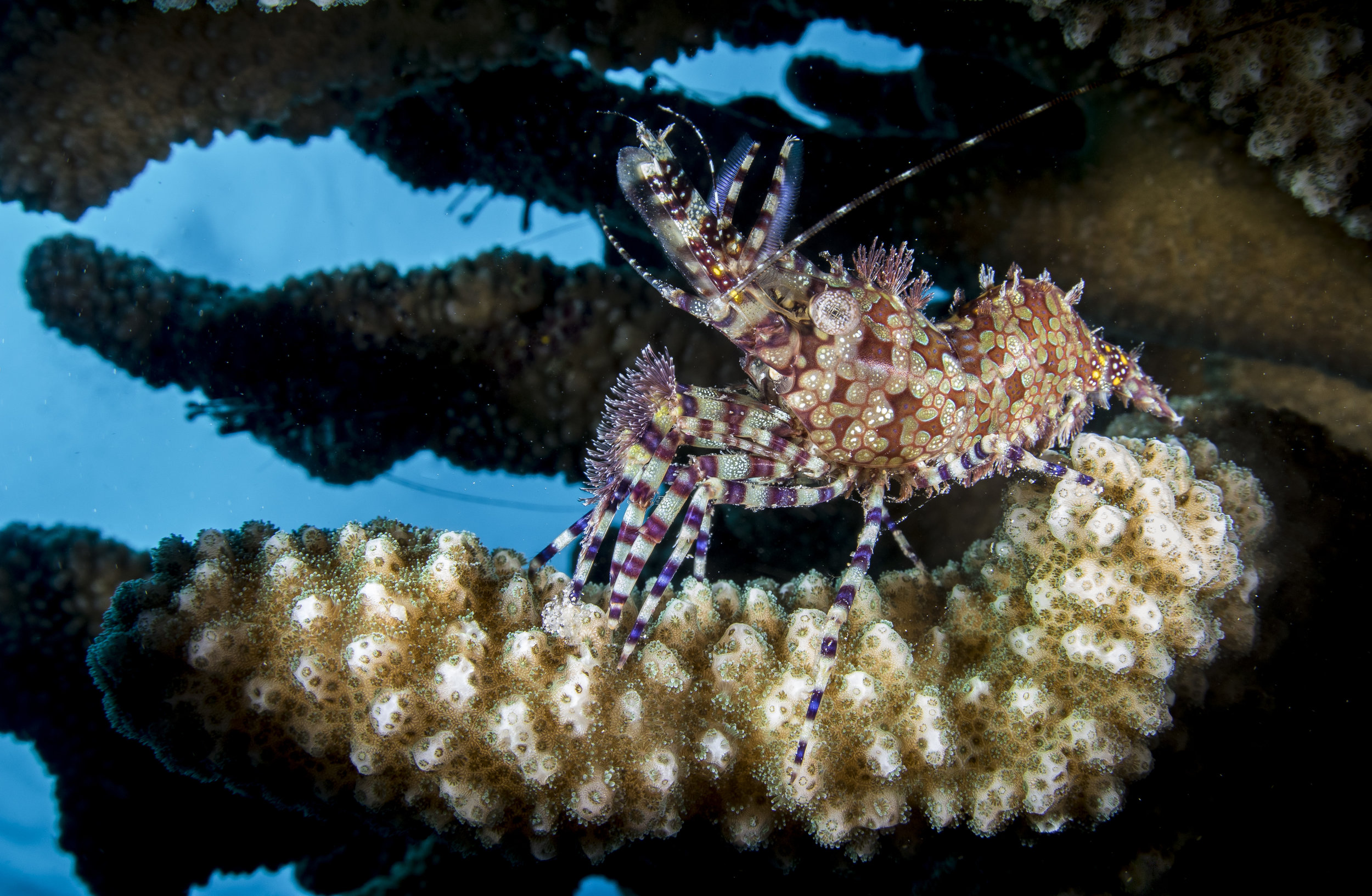 Female Saron Shrimp