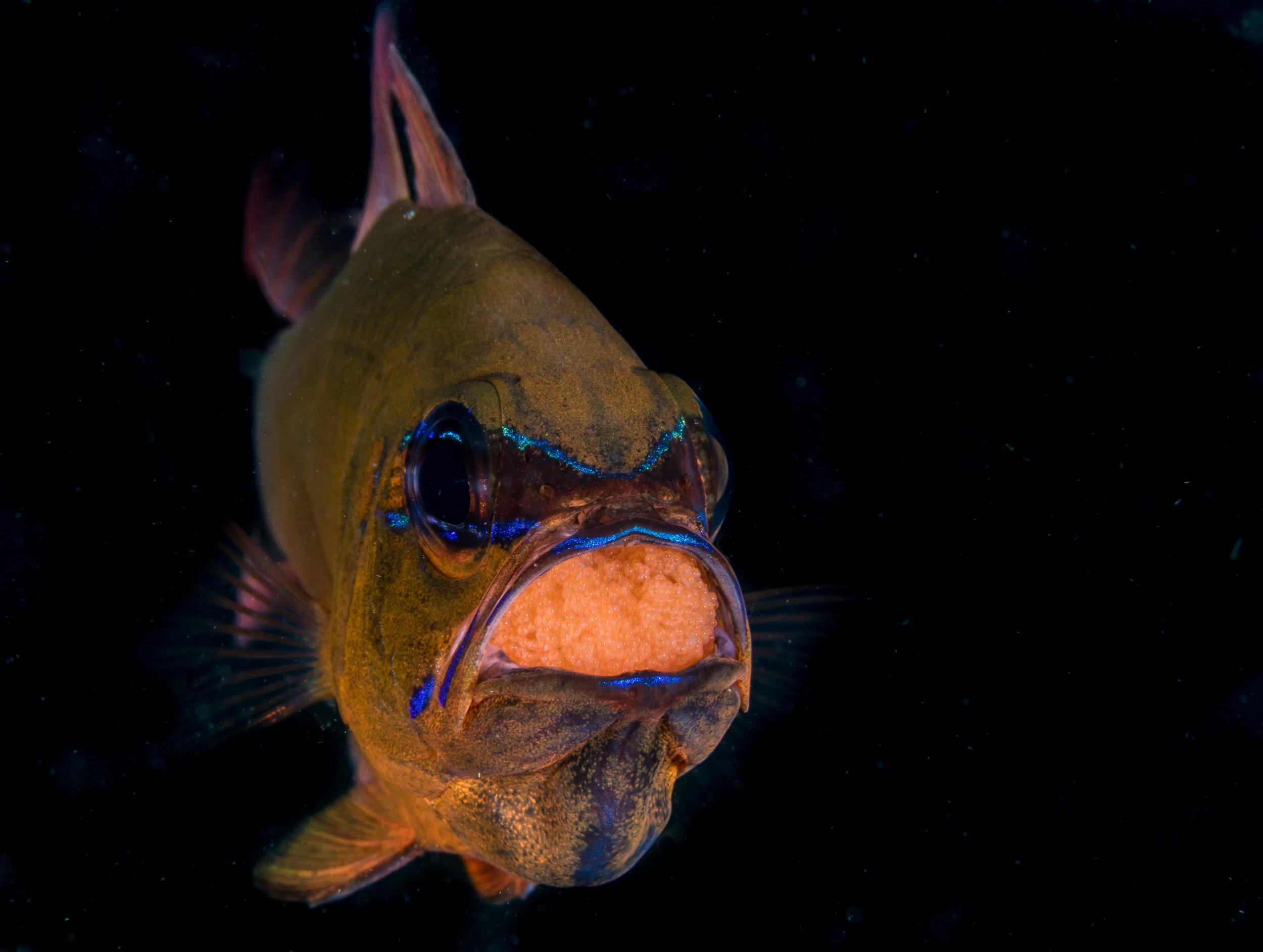 Cardinal Fish with Egg Brood