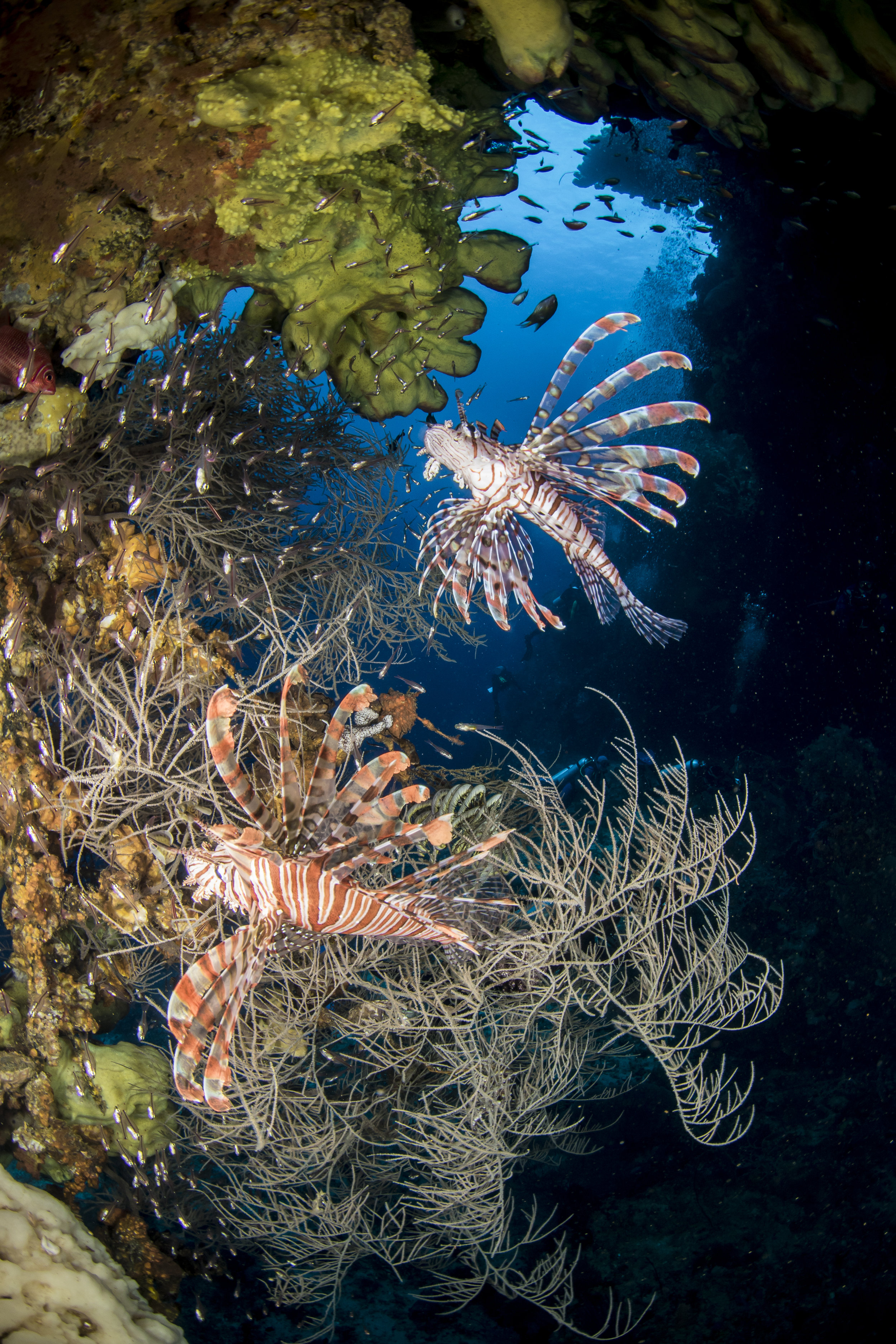 Lionfish in Ambon, Indonesia