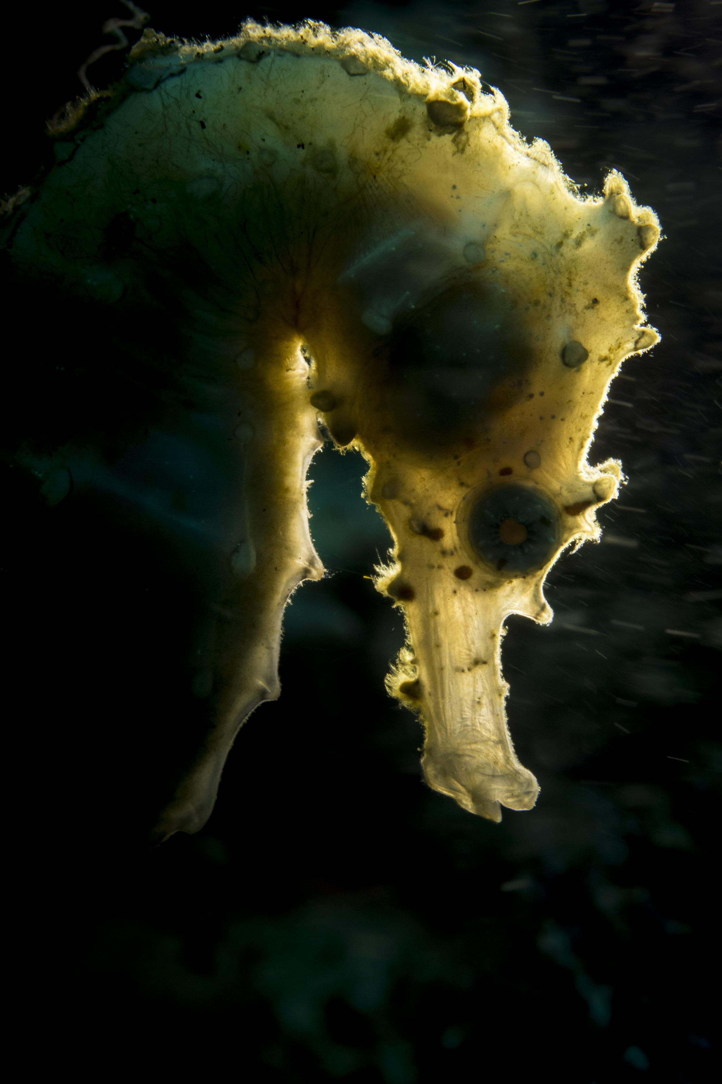 Backlit Seahorse