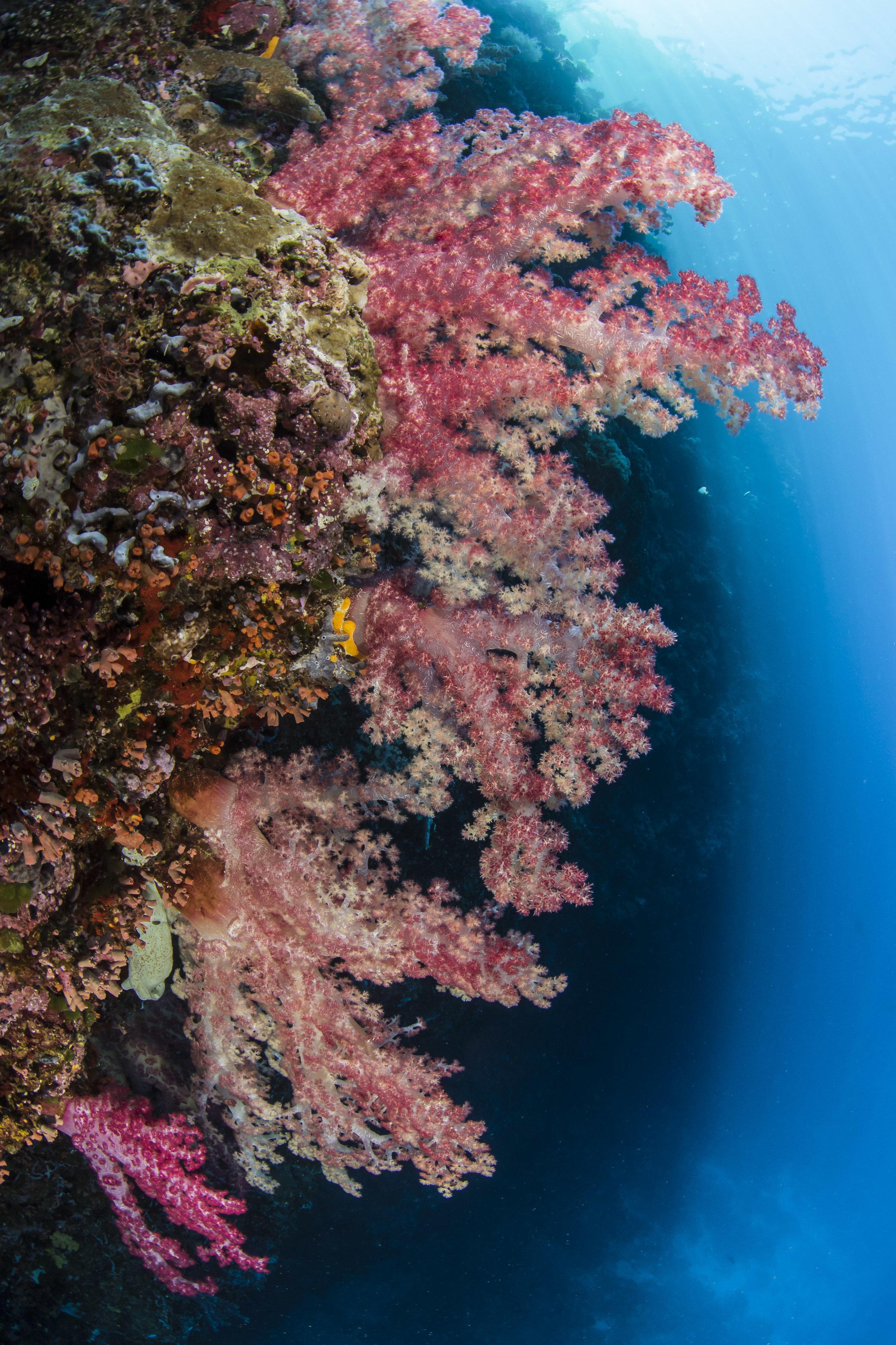 Soft Corals, Palau