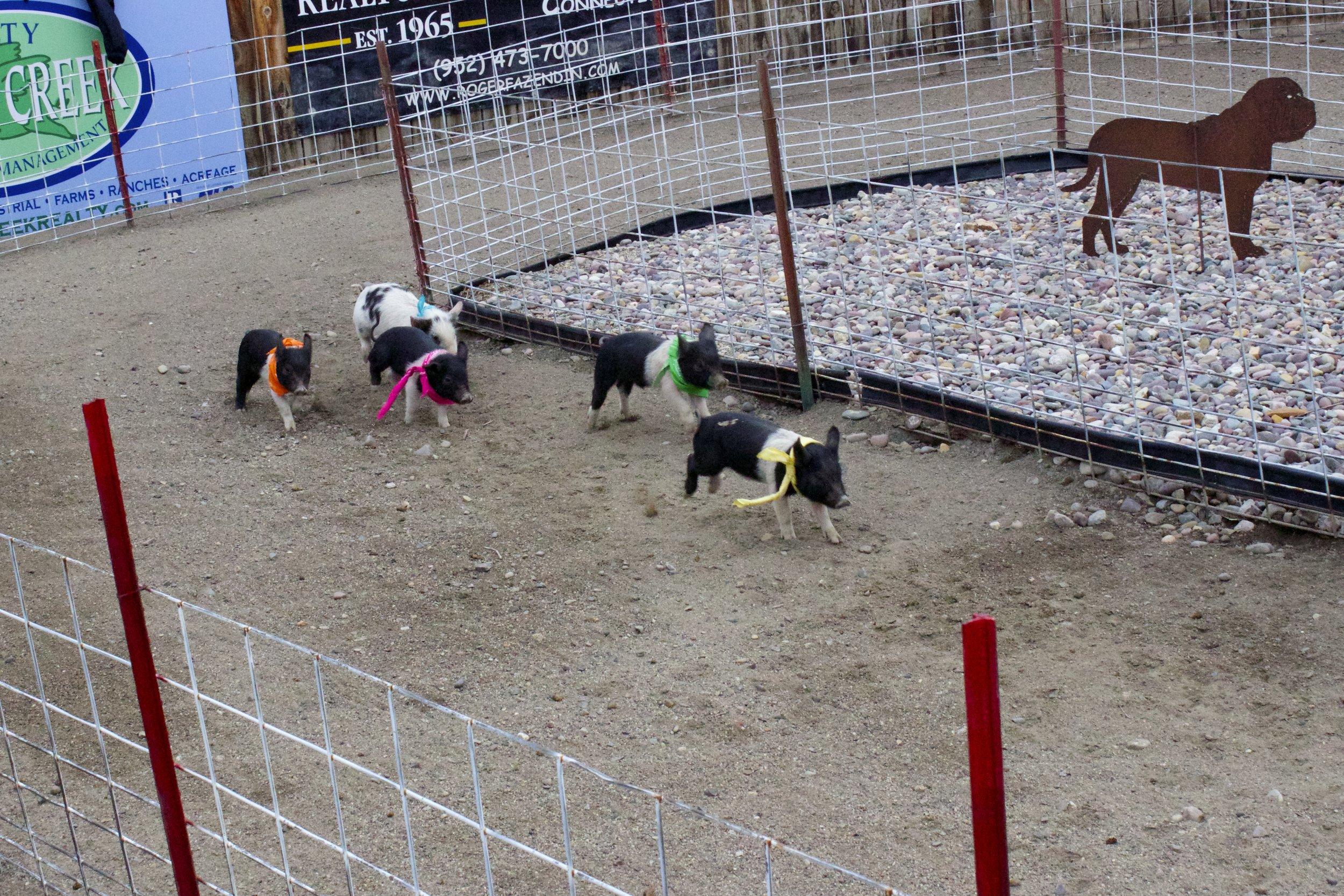 Pig Racing.jpg