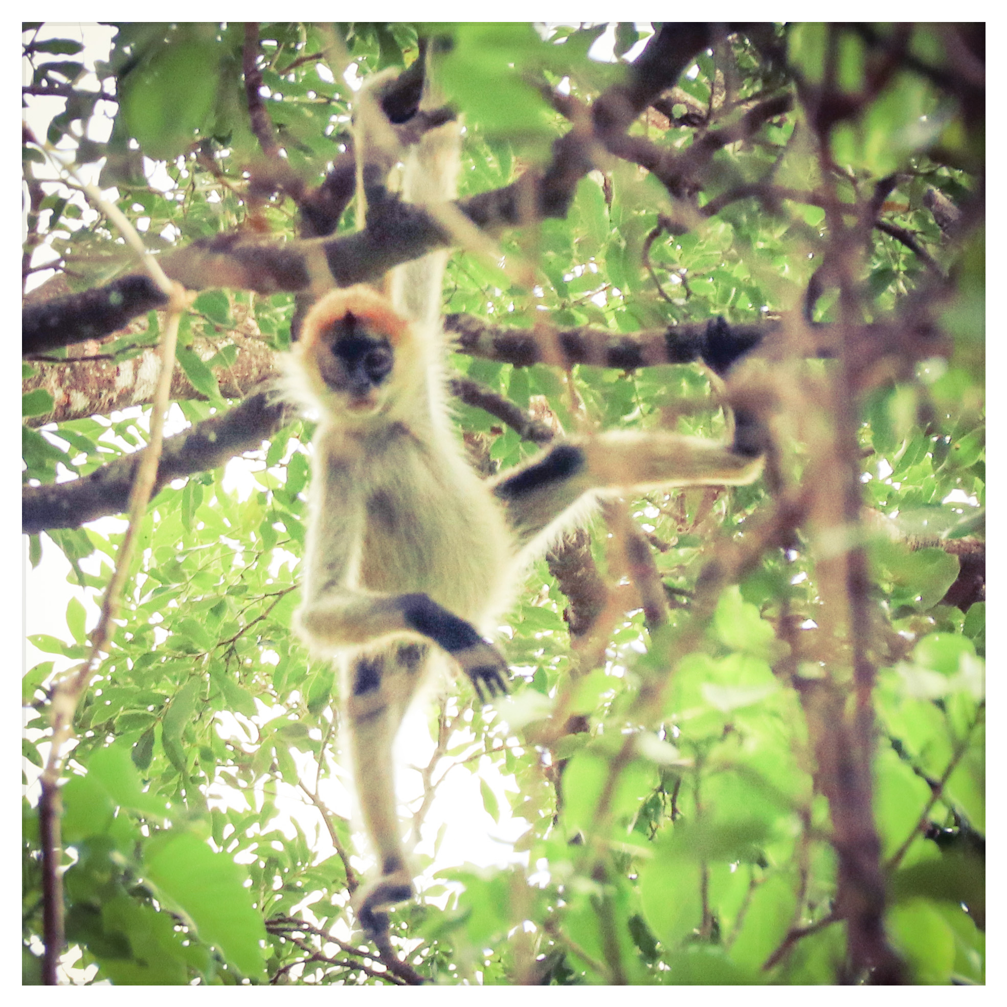 A juvenile Geofrey's Spider Monkey, an endangered species, plays in front of a patrol team on the Collado Reserve.