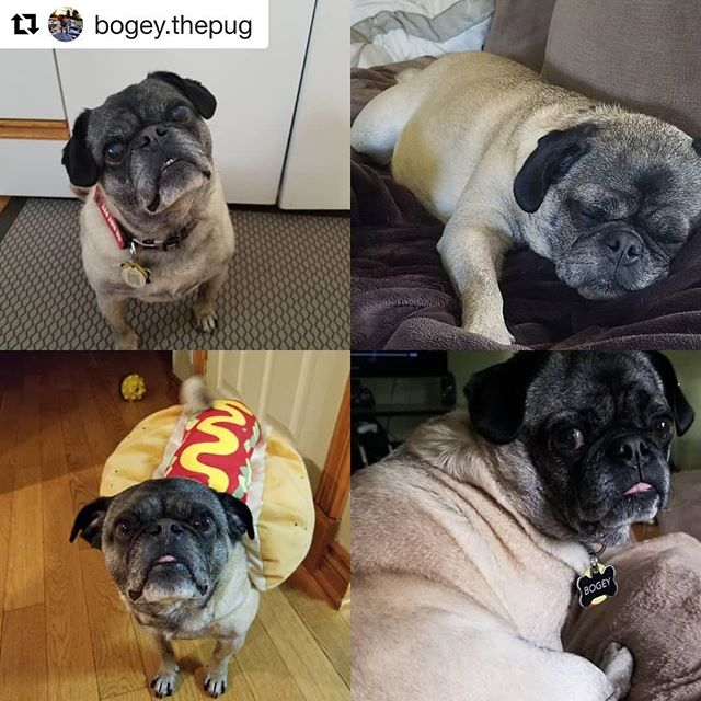 Our co-host has a birthday today! Happy Birthday Bogey! You don't look a day over 8 years old! . .  #Repost @bogey.thepug with @get_repost ・・・ Happy 8th birthday!!! To me!!! My humans are taking me to @abbotsfordanimalhospital to get my nails done and get me a new bone. I am gonna pick the biggest one 😉🤣