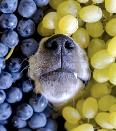 Grapes and Raisins - There are better treats to give your dog. Grapes and raisins can cause kidney failure and just a small amount can make a dog sick. Vomiting over and over is an early sign. Within a day, your dog will get sluggish and depressed.