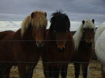 More Icelandic horses.jpg