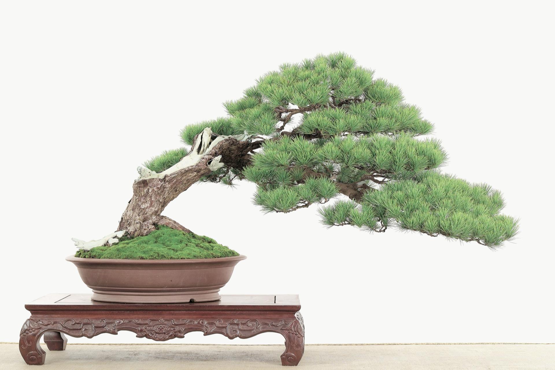 BONSAI - Appreciate bonsai grooming with Houston Bonsai Society - Sat./Sun. @ Japanese Gardens