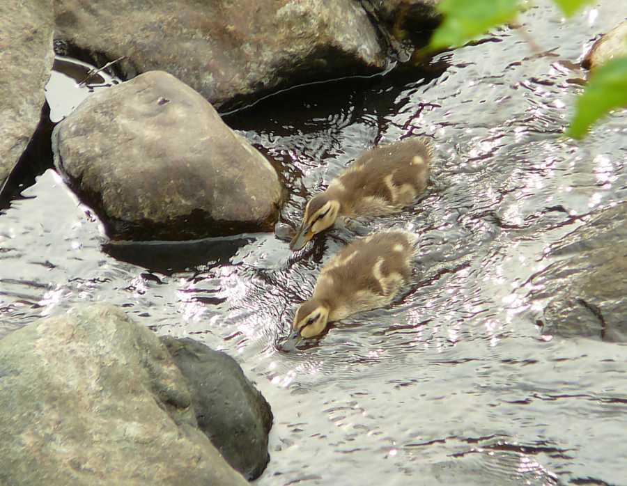 P1110892_ducklings_HiresB.jpg