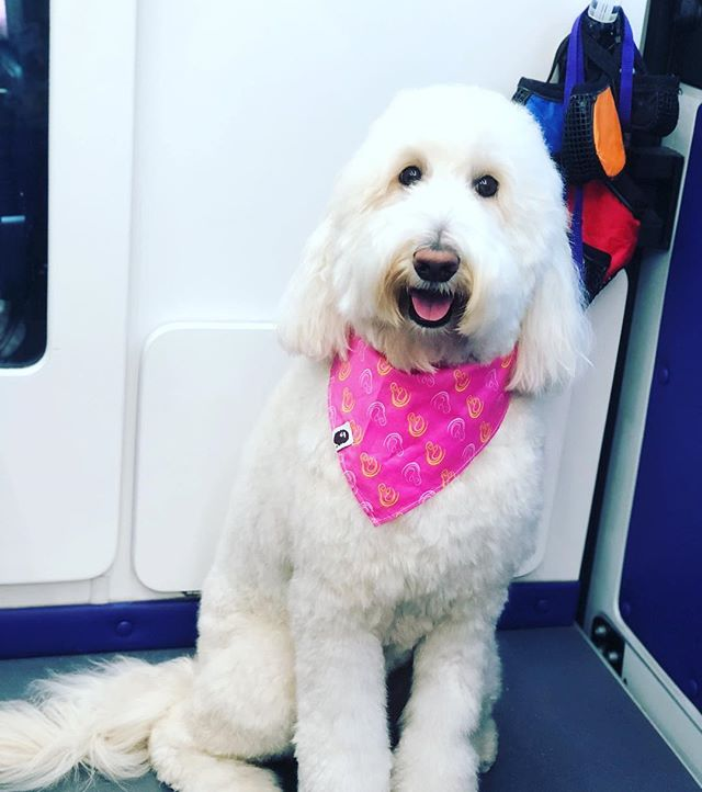 Winnie the doodle #goldendoodle #dogs #dogsofinstagram #coralgables #grooming #mobilegrooming #couturemobilegroomingspa
