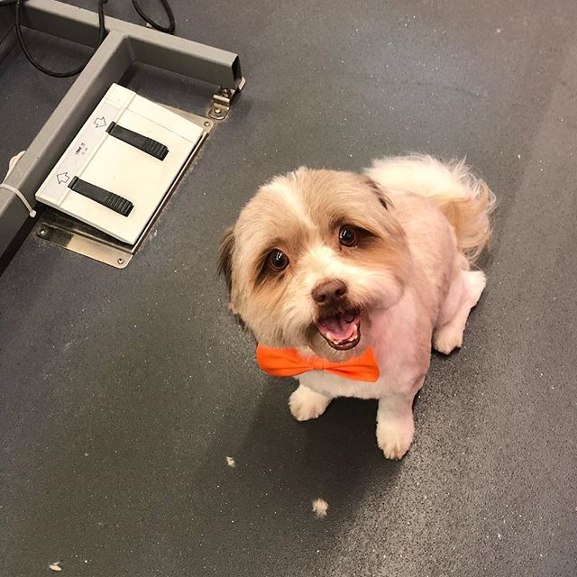 we love what we do and thats why we do it with love ❤️🐶 #couturemobilegroomingspa #dogs #pets #coconutgrovemiami #shihtzu #mobilegrooming #groomer #groomersofinstagram #adoptdontshop