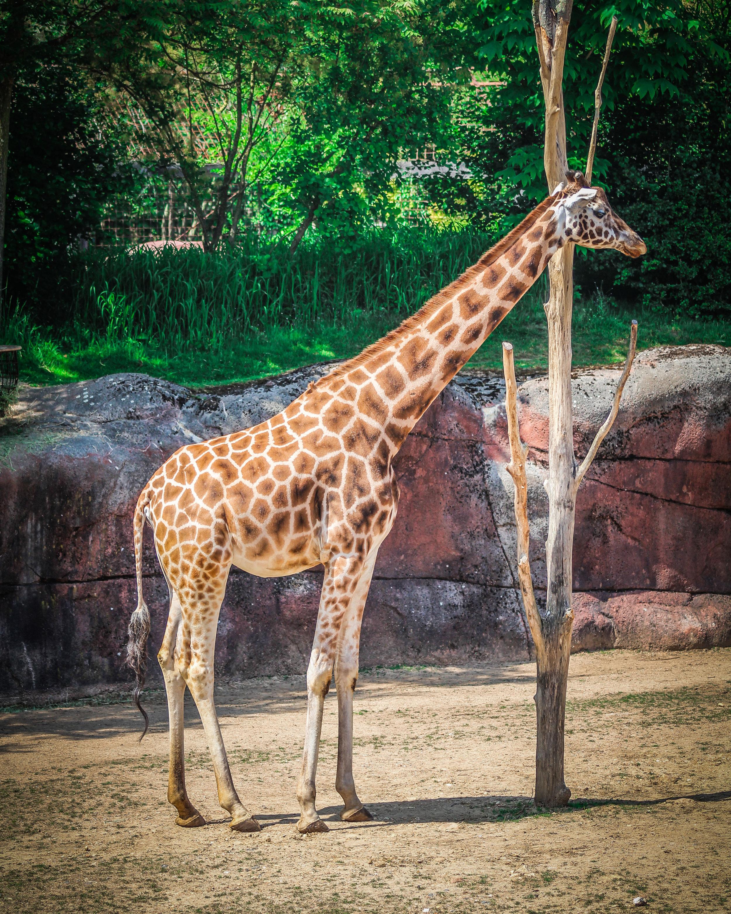 Kerkrade Gaiazoo - Giraffe eten