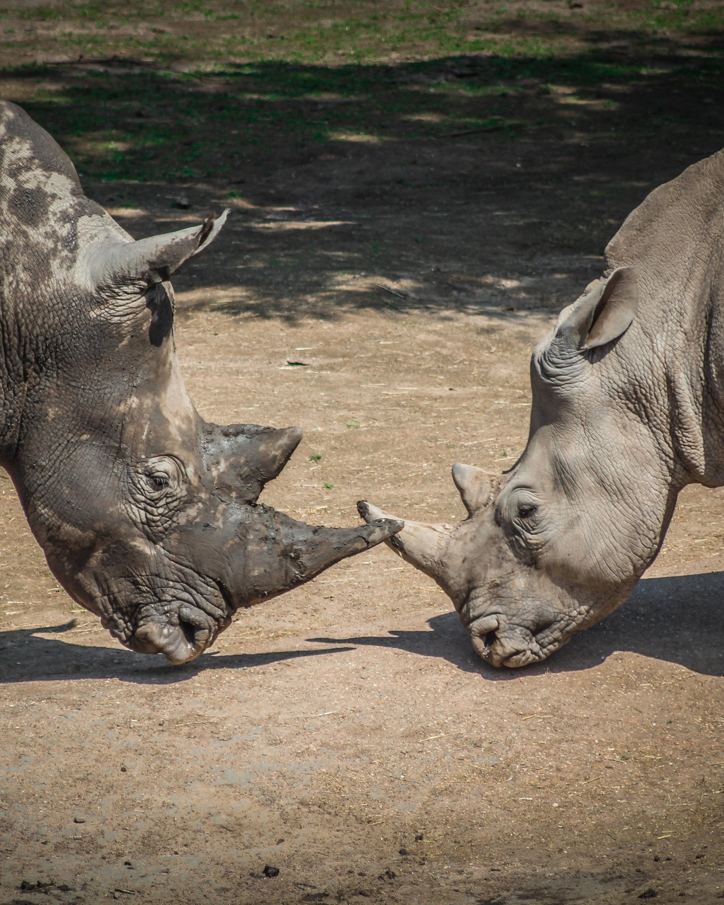 Kerkrade Gaiazoo - Neushoorns vechten