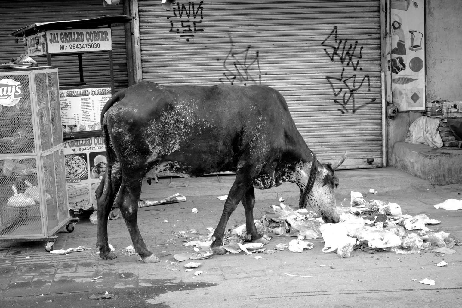 It pays to be a cow in India. Sacred to the Hindu religion (Main Bazar, Paharganj)