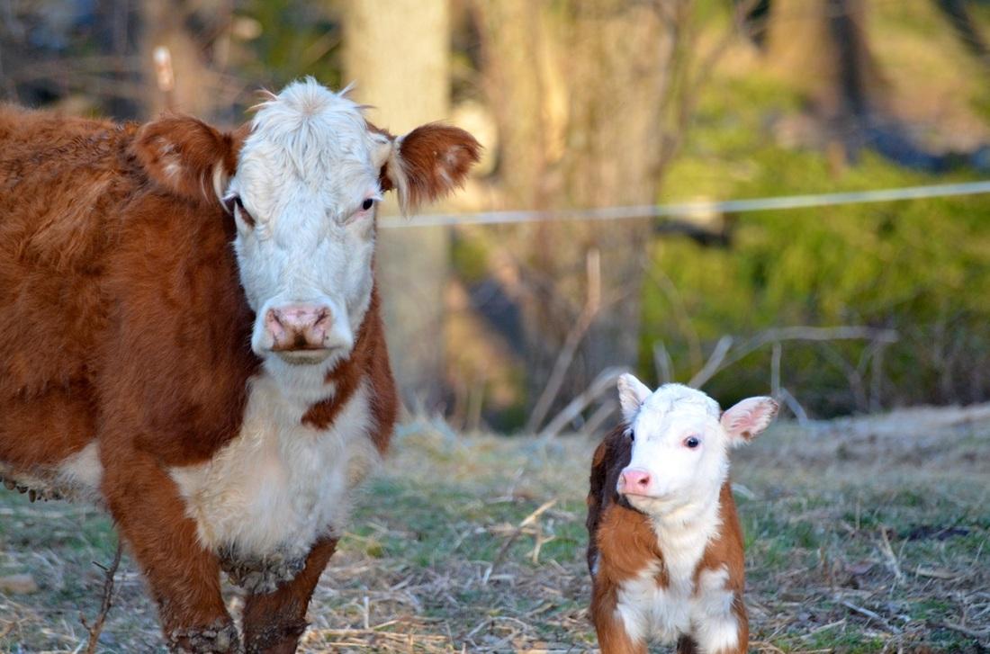 New heifer calf
