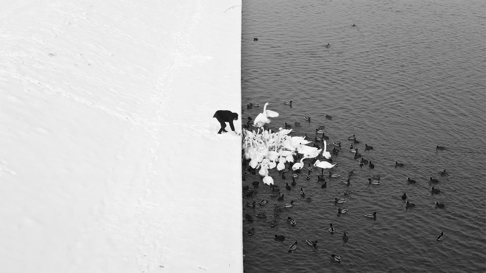 A Man Feeding Swans in The Snow