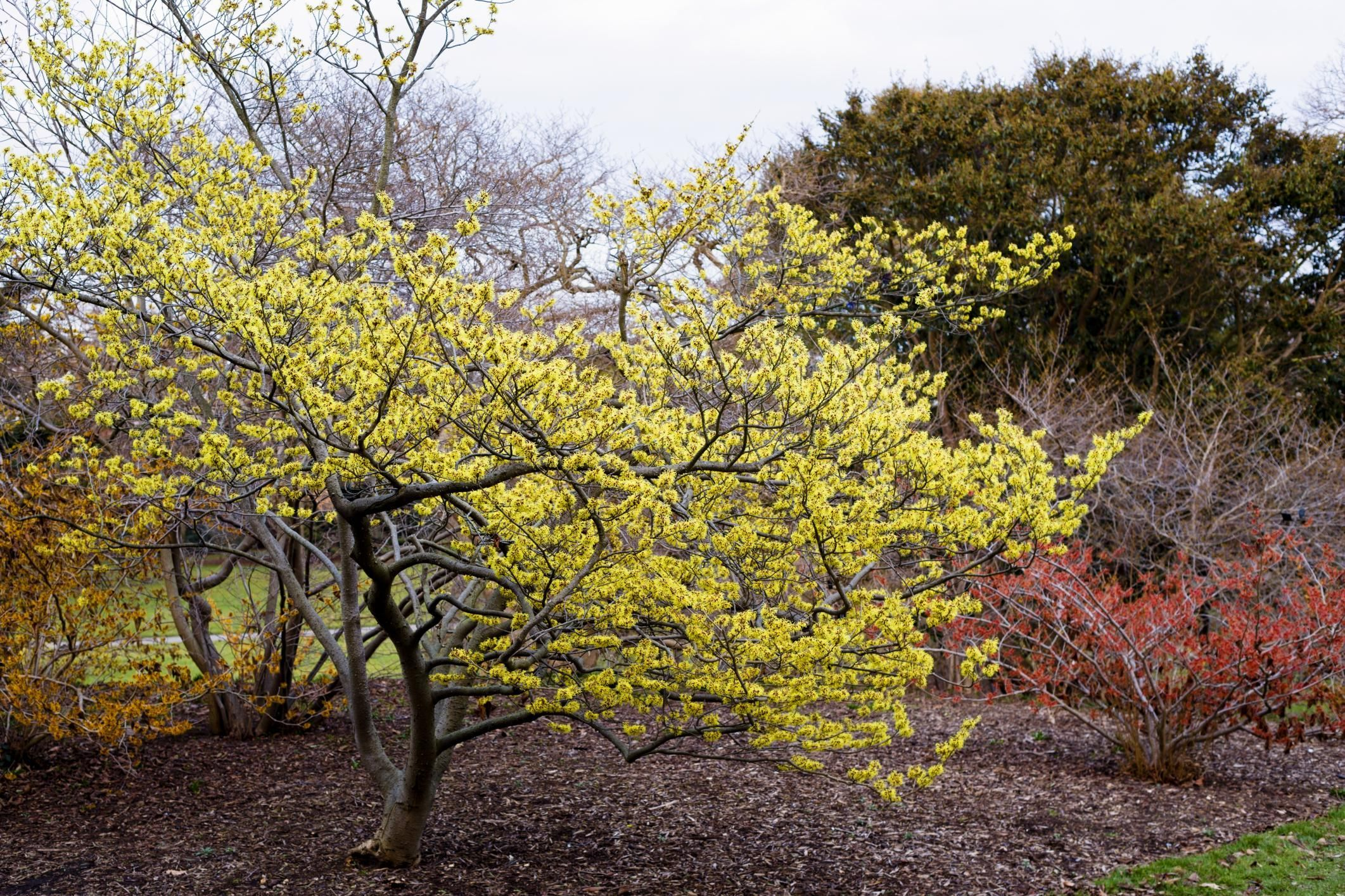 Common WITCH HAZEL IN BLOOM