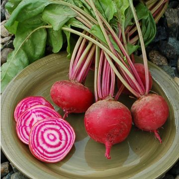 Betterace Chioggia