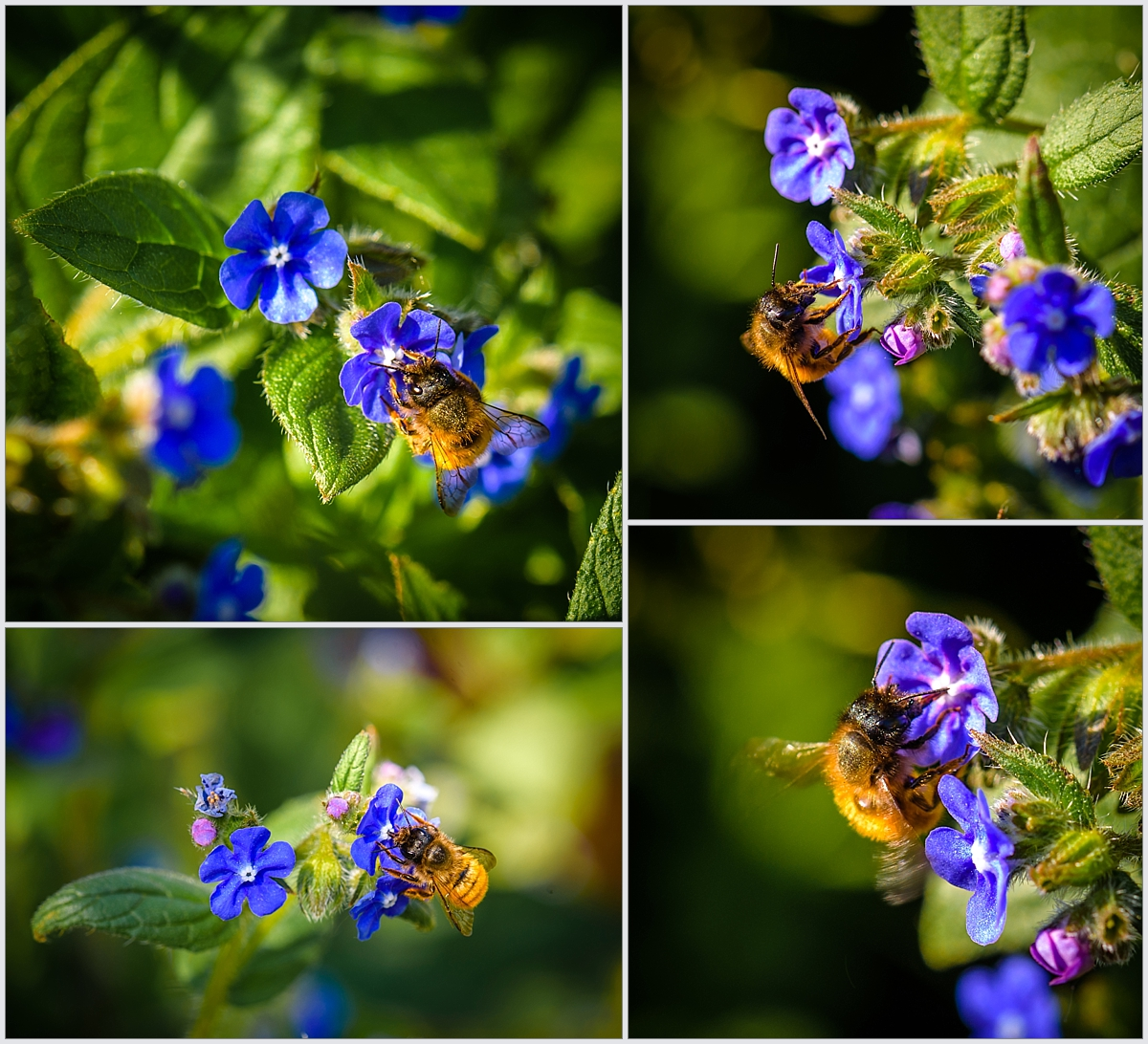 Some close ups of bees feeding on the flowers, it's amazing to pick out the small details in the wings or the hairs. All of these images were captured at an aperture of f9.