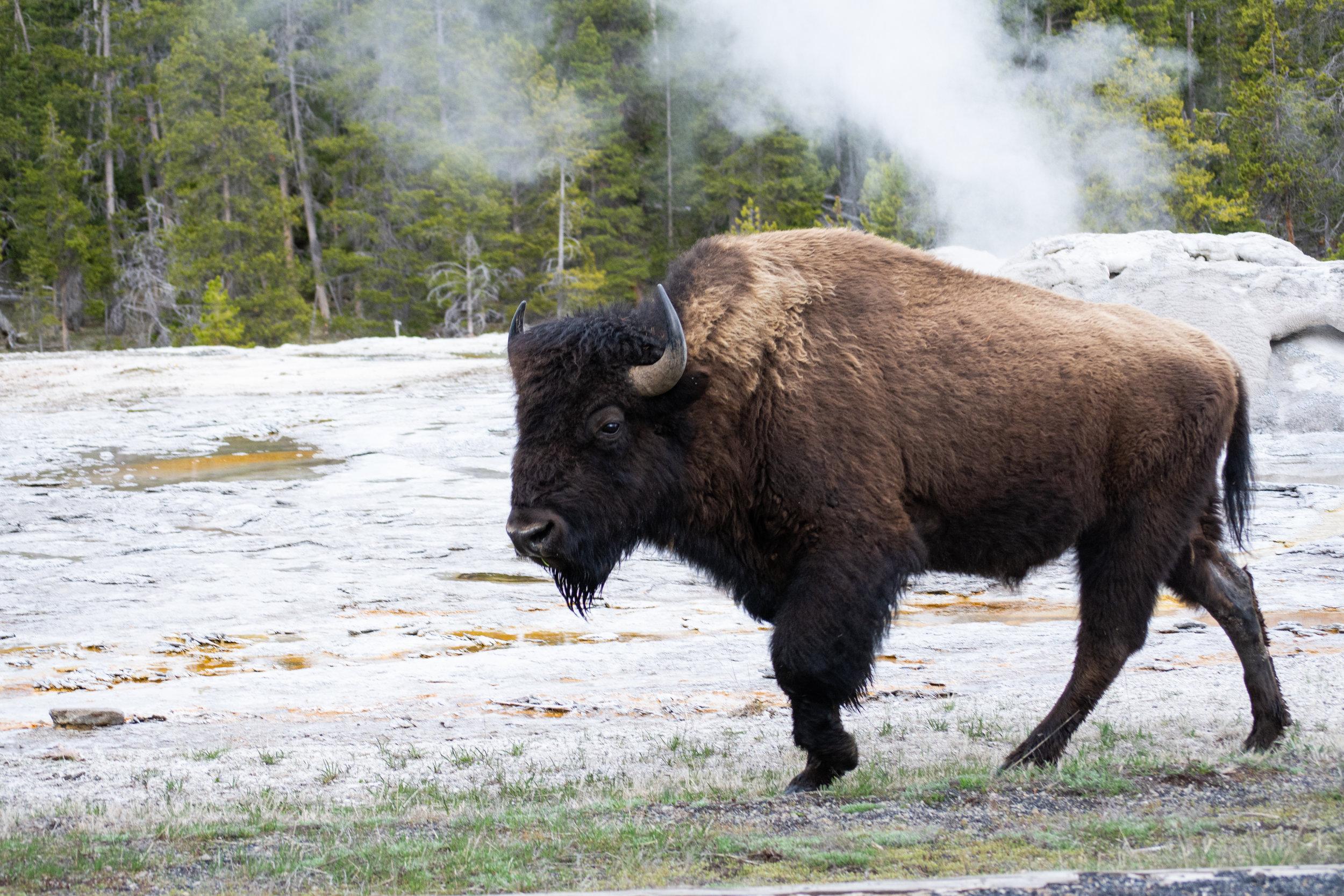 bison7.jpg