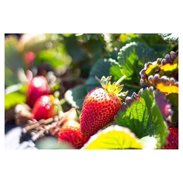 Strawberry | From yesterday's picking 🍓😋 • #photography #50mm #spring #strawberry