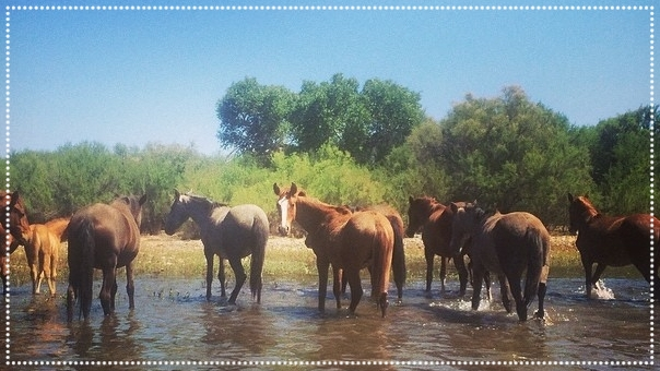 See the famous Salt River wild horses, they see you right back!