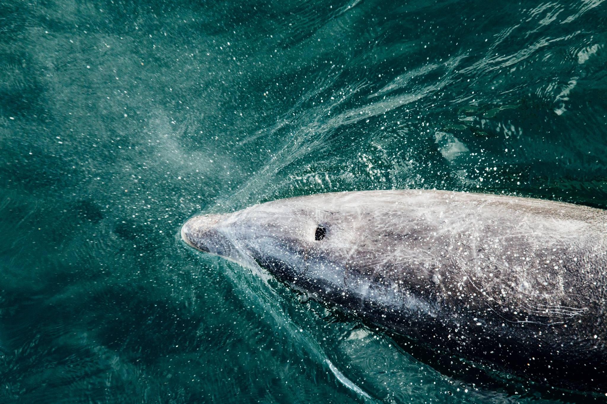 Dolphin in Bay of Islands! Photo: Marine Raynard