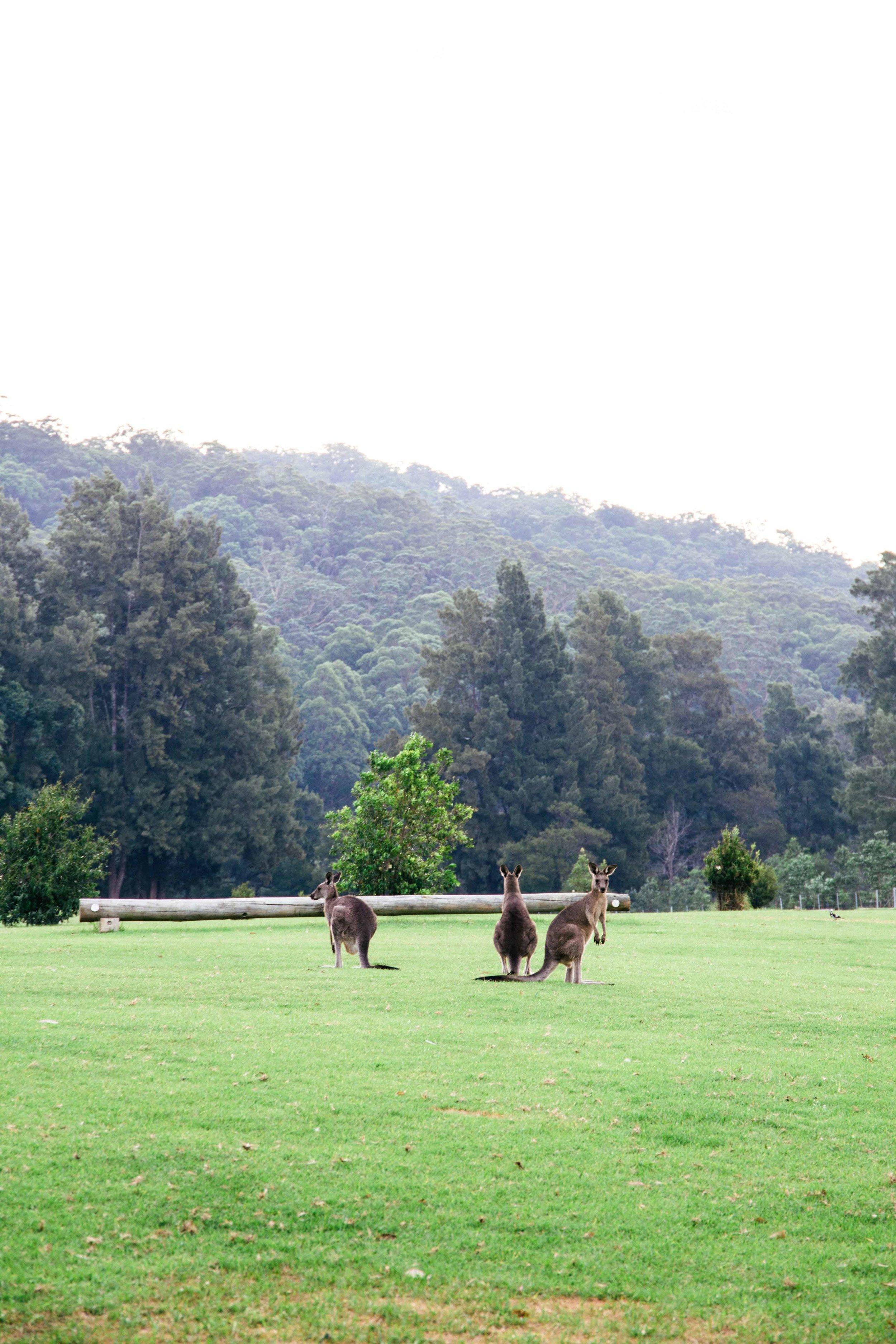 kangaroos-kangaroo-valley.jpg