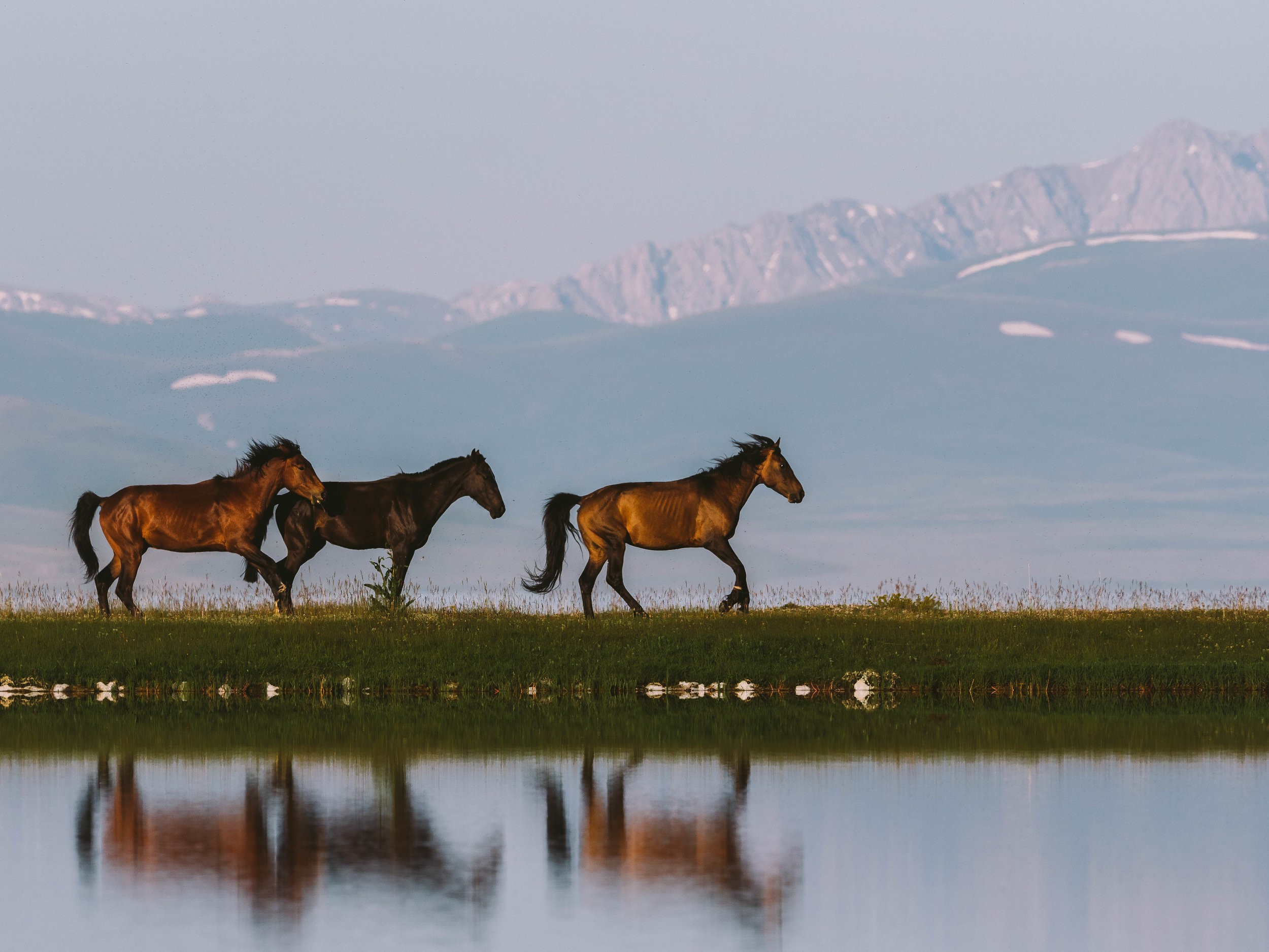 Almost Freedom - Three horses are shepherded along a grassy stretch of grass. Their feet are tied so they cannot run too far. Photo: Matt Horspool