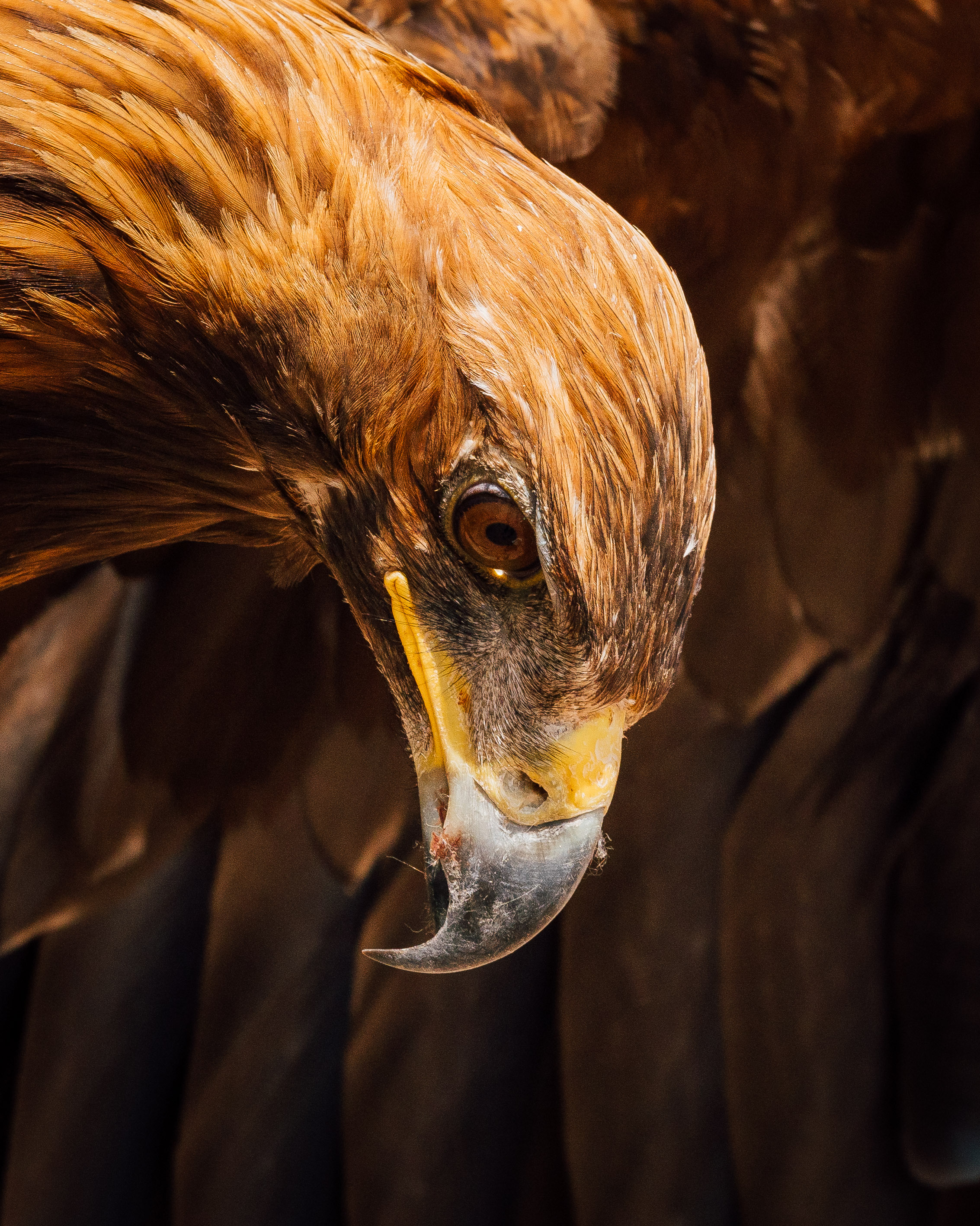 Bird of Prey - An eagle that lives with a local Kyrgyz trainer. Photo: Matt Horspool.
