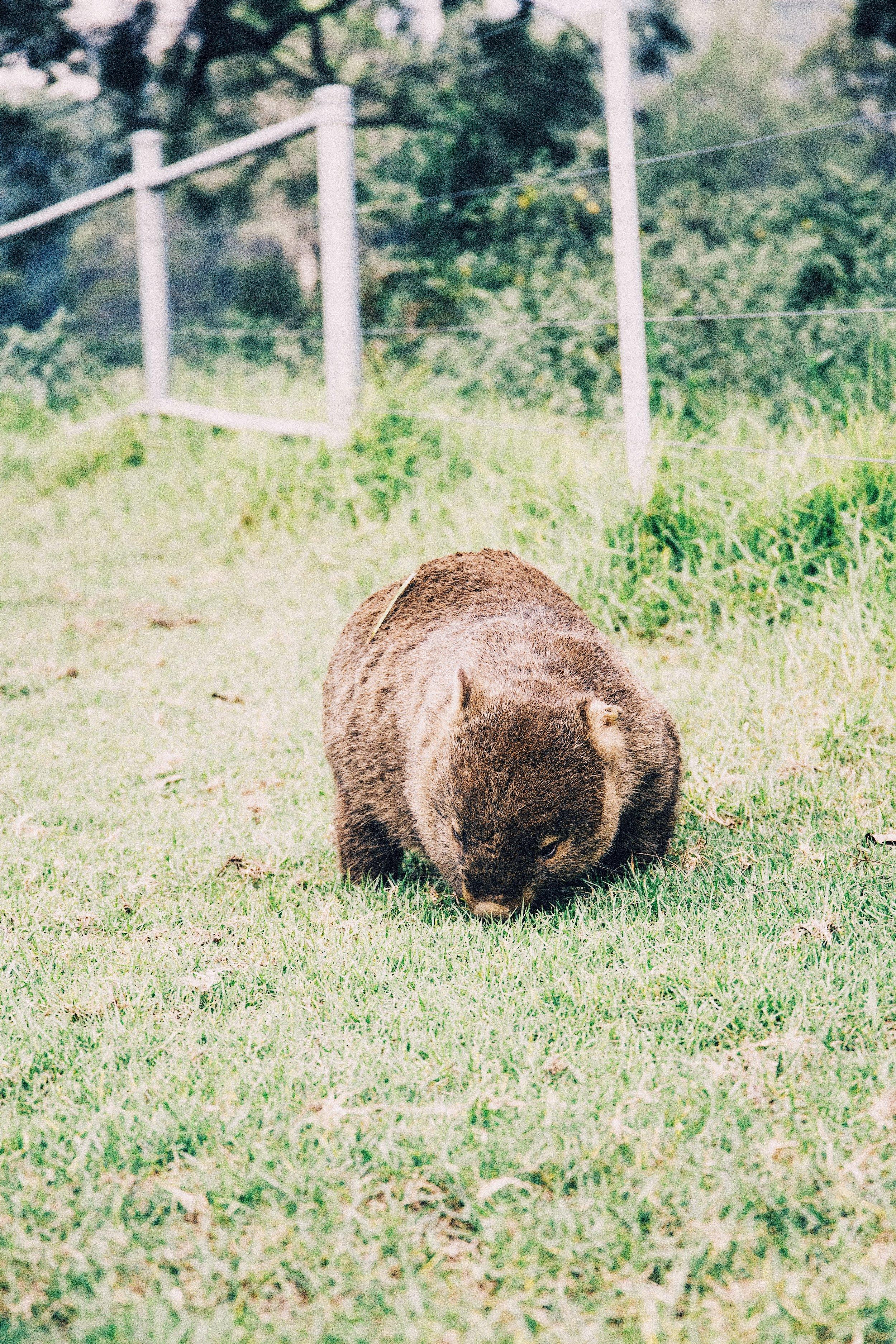 wombat-kangaroo-valley.JPG