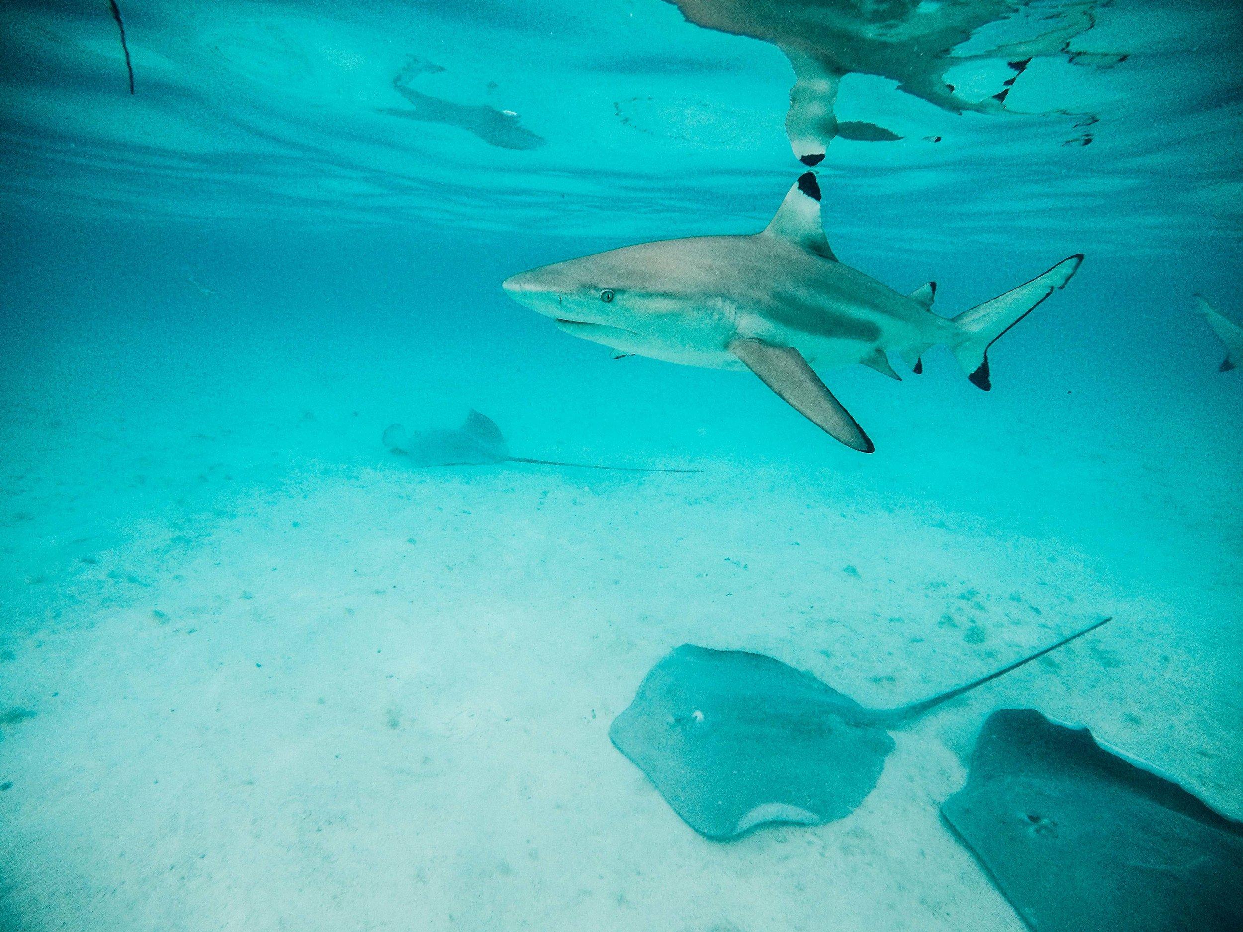 shark_tahiti_frenchpolynesia.jpg