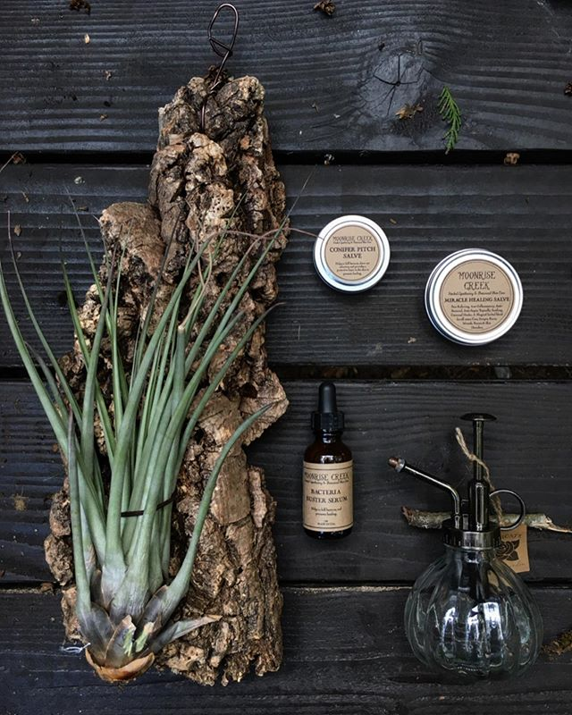 FALL GIVEAWAY!! 🌿🧖♀️🍁🌿🧖♂️🍁 This one's a true Gurton family collaboration, with @gurtonsplantshop founder Julina and her cousin Lauren, founder of @moonrisecreek handcrafted botanical body care, both sharing a love of nature and entrepreneurial spirit passed down thru the Gurton family tree! 👯♀️🌲  Prize package includes everything pictured: Mounted Air Plant and Glass Spray Mister from Gurton's; Conifer Pitch Salve, Miracle Healing Salve and Bacteria Buster Serum from Moonrise Creek!  To enter:  1.) Like this post.  2.) Follow both @gurtonsplantshop and @moonrisecreek 3.) Tag as many friends as you like in the comments below, one per comment for more chances to win!   Deadline to enter is this Sunday night 9/29 at midnight, winner will be announced 9/30! 🌲 Giveaway not associated with Instagram Inc 🌲 Good luck! #GurtonsFam 🌿😎✌️