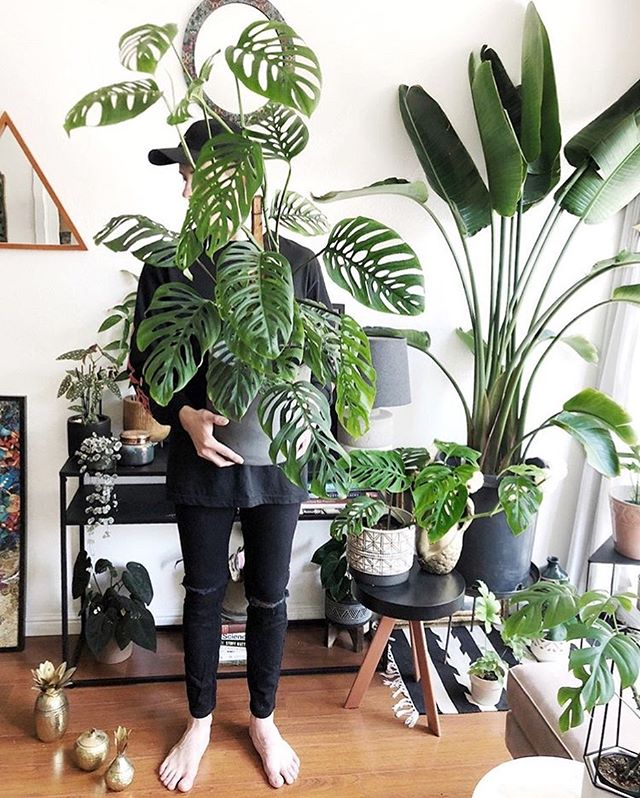 We love seeing our #GurtonsFam grow! 🌿📶🌿📶🌿 Thanks to @hothouse.jungle for posting this update on the beautiful #monstera he snagged from us (and brought all the way back to SF with him!). 🌿🛵🤩 Happy #monsteramonday fam, open 10-6 today in #hillsdalePDX! 😎✌️