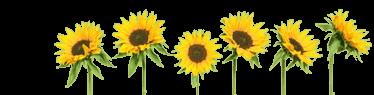 sunflower-header.png