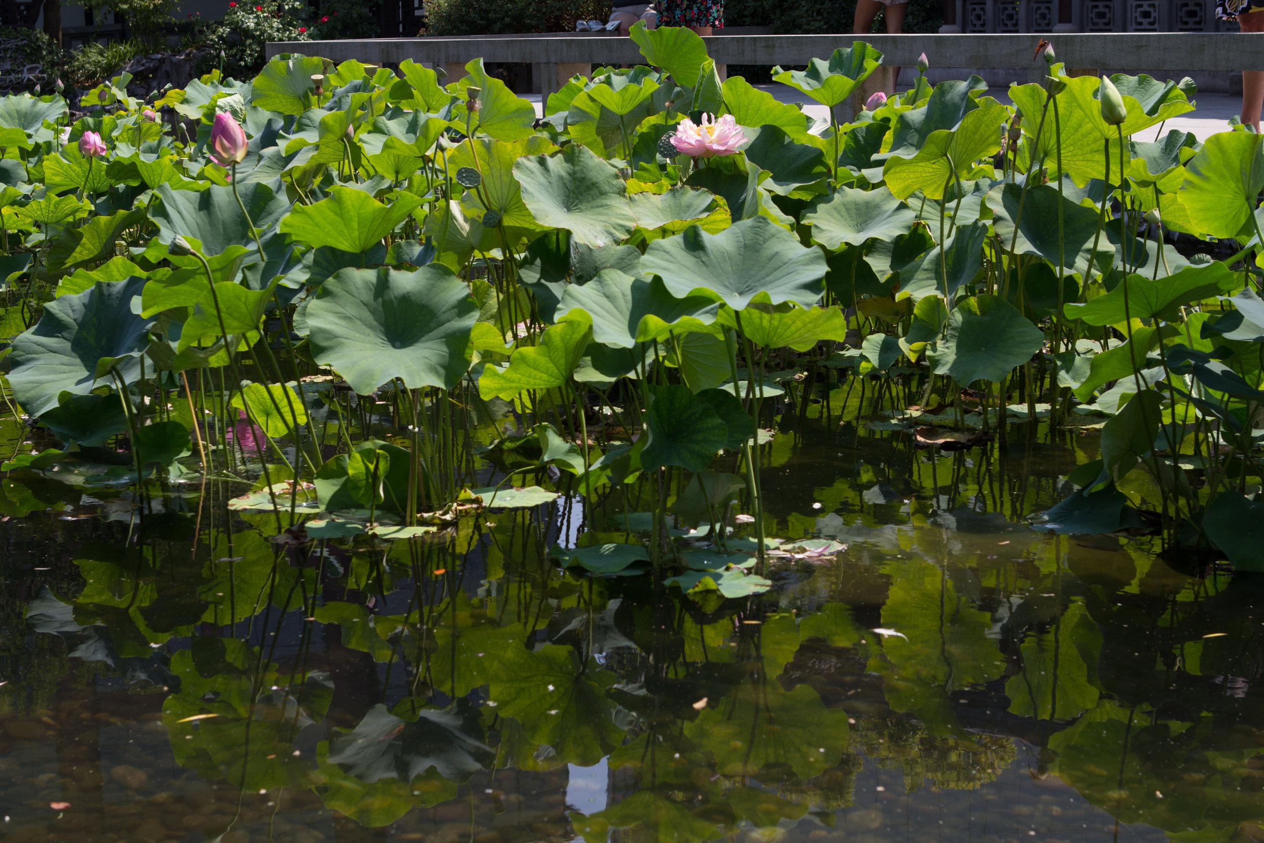 Lotus flowers by Aaron Clay