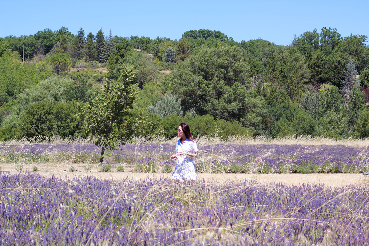 Provence, Lavender fields in the South of France