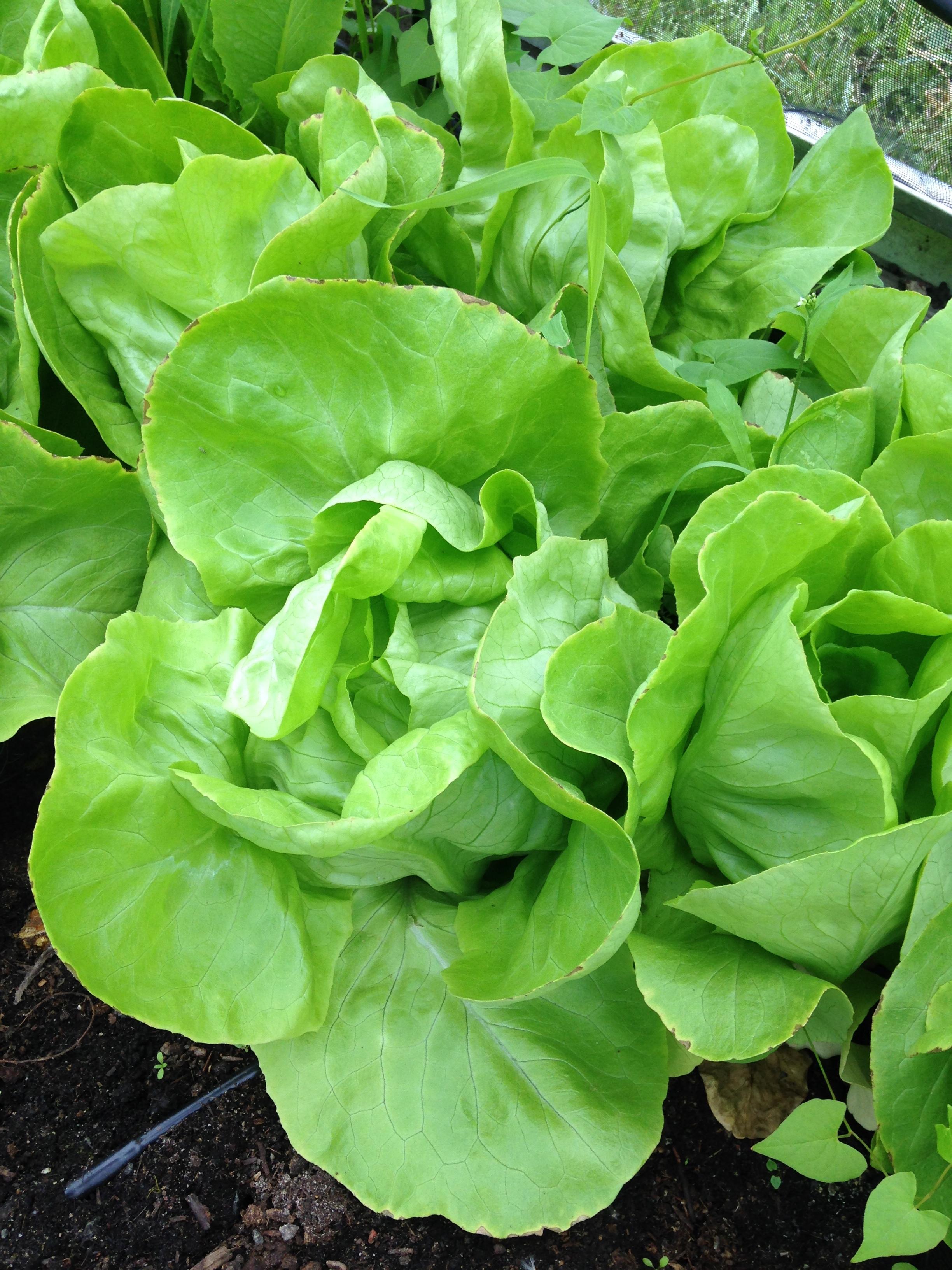 a lettuce III.JPG